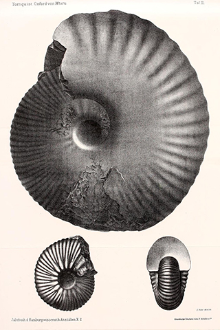 Drawing of the Ammonite by Alexander Tornquist, 1893